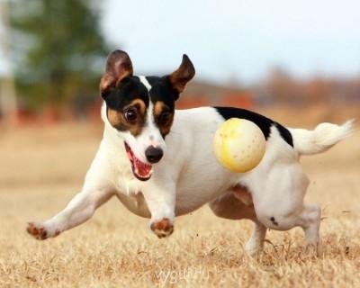 собака счастливая